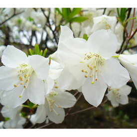 花木 庭木の苗/ツツジ:ゴヨウツツジ(シロヤシオ)根巻き樹高25〜30cm