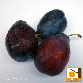 果樹の苗/プルーン2種受粉樹セット:スタンレーとプレジデント