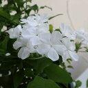 プルンバーゴ(ルリマツリ):ホワイト5号鉢植え