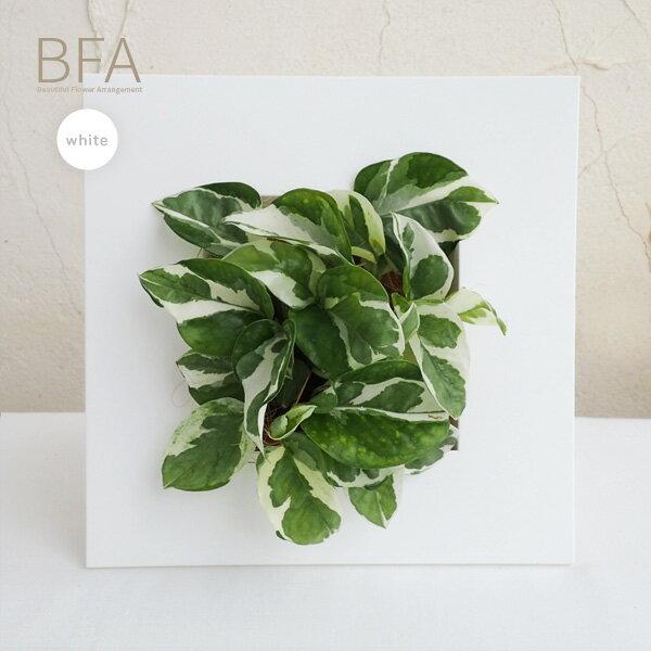【ラッキーシール対応】観葉植物/フォトフレームタイプ鉢カバーBFA(ホワイト)&ポトス・エンジョイ