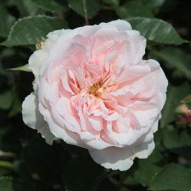 バラの苗/つるバラ:フェリシア大苗