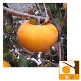 果樹の苗/カキ(柿):フユウ(富有)4〜5号ポット