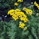 植物の苗/コンパニオンプランツ:タンジー3号ポット4株セット