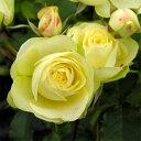 バラの苗/四季咲中輪バラ:クリーミーエデン大苗
