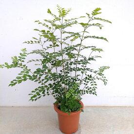 観葉植物/シマトネリコ7号鉢入り