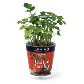 フレッシュハーブ:イタリアンパセリ栽培セット(底面給水)