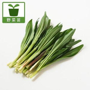 野菜の苗/行者ニンニク(アイヌネギ)1芽植え3号ポット2株セット
