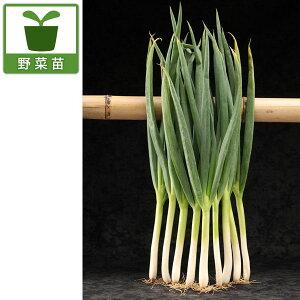 野菜の苗/ネギ苗:極甘ネギ さつき姫 株分け苗3号ロングポット植え