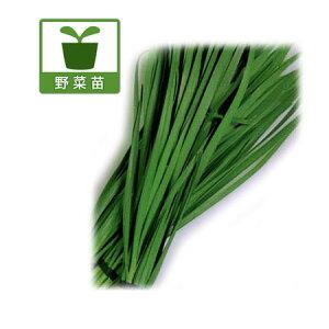 植物の苗/コンパニオンプランツ:大葉ニラ3号ポット6ポットセット
