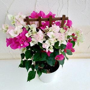 ブーゲンビレア:2色植え(ブライダルピンク・ローズバット)5号鉢植え