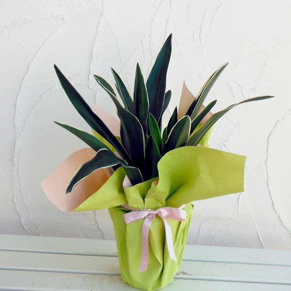 観葉植物/万年青 (おもと):都の城5.5号鉢植え ラッピング付き