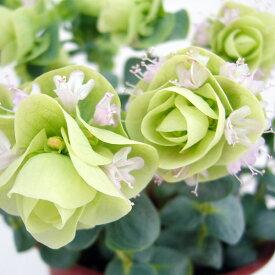 草花の苗/花オレガノ:ロタンディフォリウム3号ポット