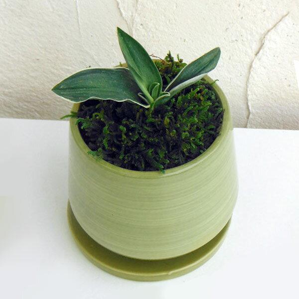 観葉植物/万年青 (おもと):お多福 オリーブ陶器鉢植え・受け皿付き