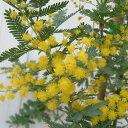 花木 庭木の苗/アカシア:ギンヨウアカシア8号ポット