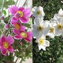 草花の苗/シュウメイギク(秋明菊):2種(ダイアナ・白花一重)3〜3.5号ポット2株セット