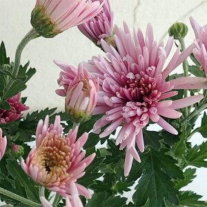 野菜の苗/食用菊:桃(延命菊)7.5cmポット4株セット