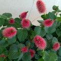 草花の苗/アカリファ:キャッツテール3.5号ポット2株セット