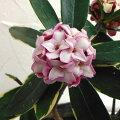 花木庭木の苗/沈丁花(ジンチョウゲ):赤花(斑入り)4.5号ポット
