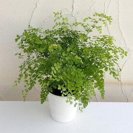 観葉植物/アジアンタム:フラグランス5号鉢植え