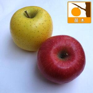 果樹の苗/リンゴ2種受粉樹セット:ふじ(富士)と王林(おうりん)4〜5号ポット