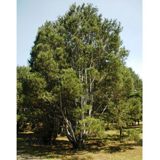 花木 庭木の苗/ハクショウ(白皮松・白松)樹高1m根巻き