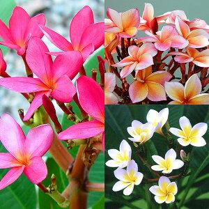 花木 庭木の苗/プルメリア挿し木用苗パック詰め:3色セット
