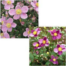 草花の苗/シュウメイギク(秋明菊):2種(ダイアナ・桃花一重)3〜3.5号ポット2株セット