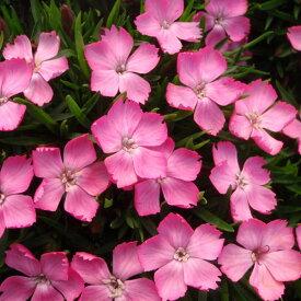 草花の苗/ナデシコ:花はなライトピンク3号ポット2株セット