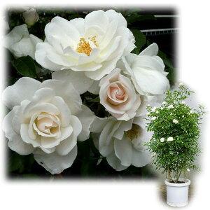 バラの苗/[送料無料]つるバラ:アイスバーグ8号大型アンドン仕立て