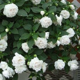 草花の苗/フィエスタ:ホワイト3号ポット2株セット