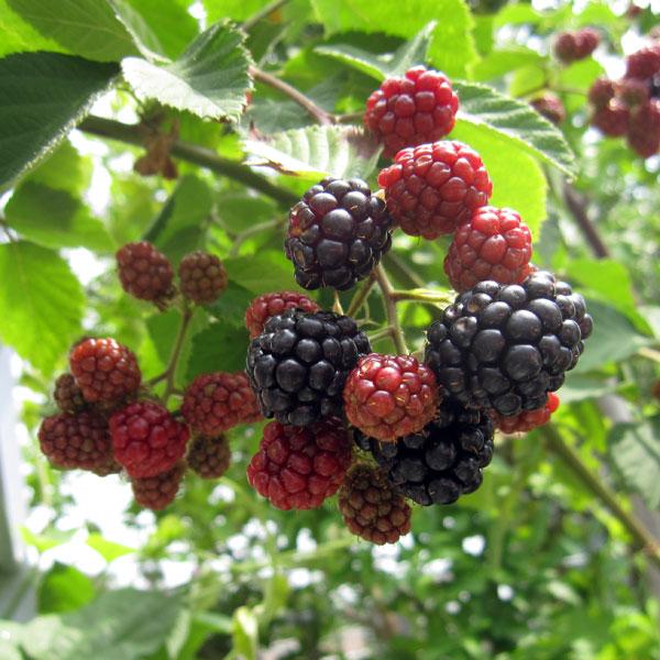 果樹の苗/木いちご(キイチゴ):ブラックベリー ボイソンベリー4〜5号ポット