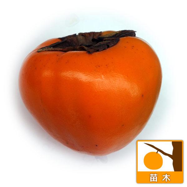 果樹の苗/柿(カキ):富士(ふじ)4〜5号ポット