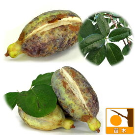果樹の苗/アケビ2種受粉樹セット:五葉(ゴヨウ)アケビと三つ葉アケビ5号ポット
