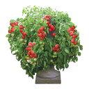 野菜の苗/トマト(ミニ):トマト大王3号ポット2株セット