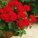 草花の苗/ゼラニウム:カリオペダークレッド11cmポット 3株セット