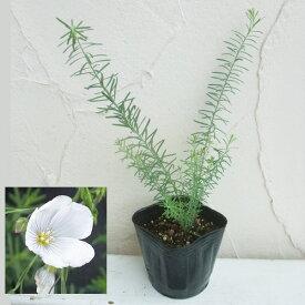 草花の苗/フラックス(アマ):ペレニアルホワイト3号ポット 2株セット