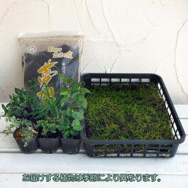 山野草の苗/苔玉キット(6個分):苗とコケと用土のセット