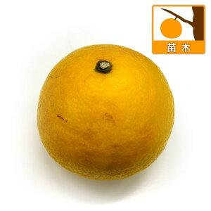 果樹の苗/ヒュウガナツ(日向夏)4〜5号ポット