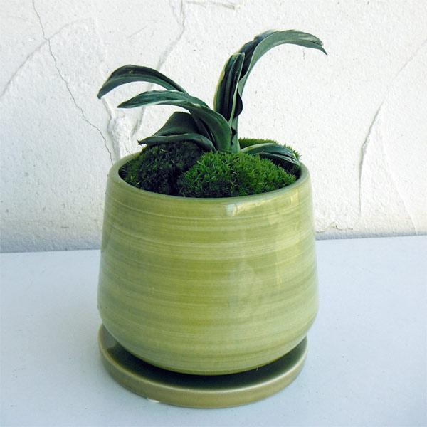 観葉植物/万年青 (おもと):剣舞 オリーブ陶器鉢植え・受け皿付き
