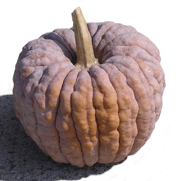 [日本カボチャ 大阪の伝統野菜 野菜タネ]【有効期限17年12月】かぼちゃ:勝間南瓜かっちゃんの種