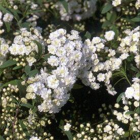 花木 庭木の苗/コデマリ:八重咲きこでまり5号ポット