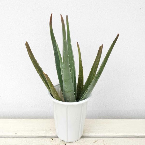 【ラッキーシール対応】観葉植物/アロエ・ベラ4号鉢