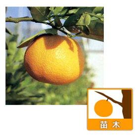 果樹の苗/伊予柑(イヨカン)4〜5号ポット[12月上旬〜下旬収穫 柑橘・かんきつ類苗木]