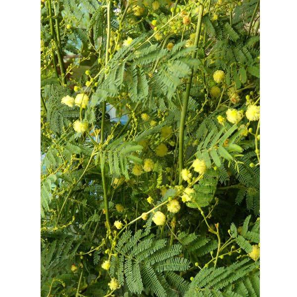 花木 庭木の苗/アカシア:デアネイ(四季咲きミモザ)3〜3.5号ポット