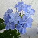 草花の苗/プルンバーゴ(ルリマツリ):ブルー3.5号ポット2株セット