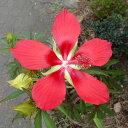花木 庭木の苗/モミジアオイ3.5号ポット