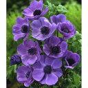 球根/アネモネ:デカン咲き 紫50ml(約15〜20球)入り