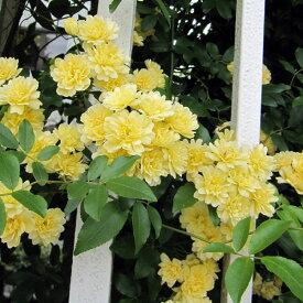 バラの苗/長尺つるもの:モッコウバラ黄花八重5号ポット長さ1.2〜1.5m