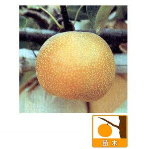 果樹の苗/梨2種受粉樹セット:豊水と幸水接木1年苗4〜5号ポット