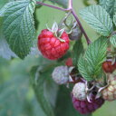 果樹の苗/トゲなしラズベリー:グレンアンプル4〜5号ポット